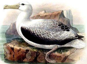 Albatros royal