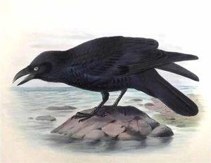 Corbeau de Torres