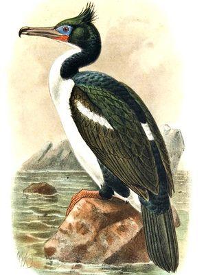 Cormoran bronzé