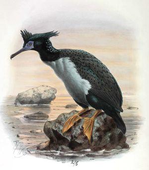 Cormoran de Featherston