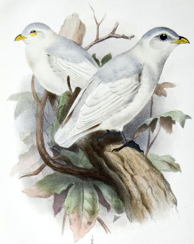 Yellow-billed cotingas