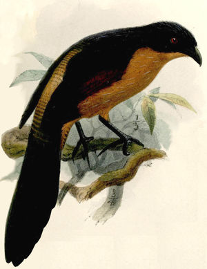 Coucal du Gabon