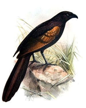Coucal noirou