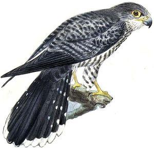 Faucon à ventre rayé