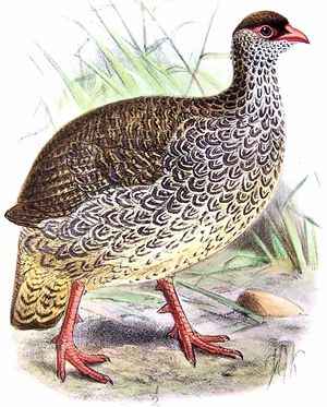Francolin de Harwood