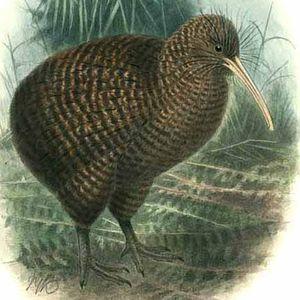 Kiwi roa