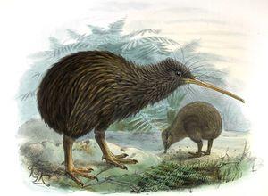 Kiwi de Mantell