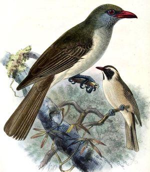 Loriot de Timor