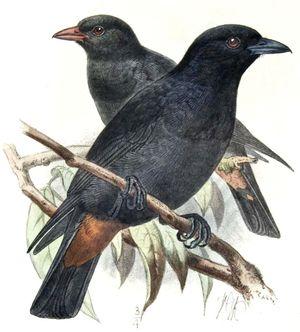Loriot noir