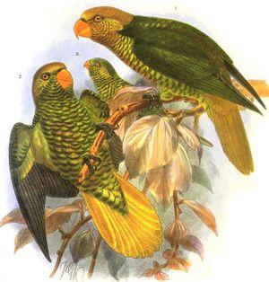 Loriquet jaune et vert