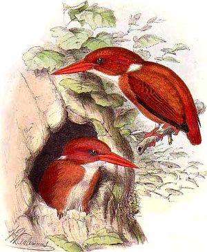 Martin-pêcheur malgache