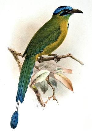 Motmot d'Équateur