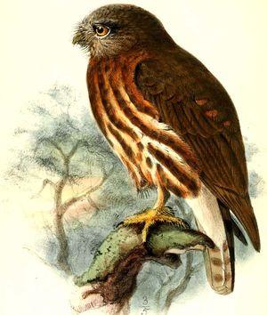 Ninoxe des Andaman