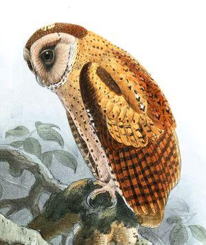 Phodile du Sri Lanka
