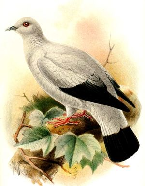 Pigeon argenté