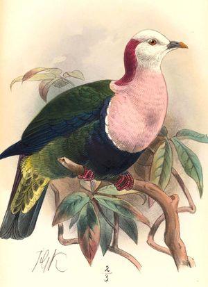 Ptilope de Sumba