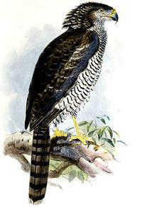 Serpentaire de Madagascar