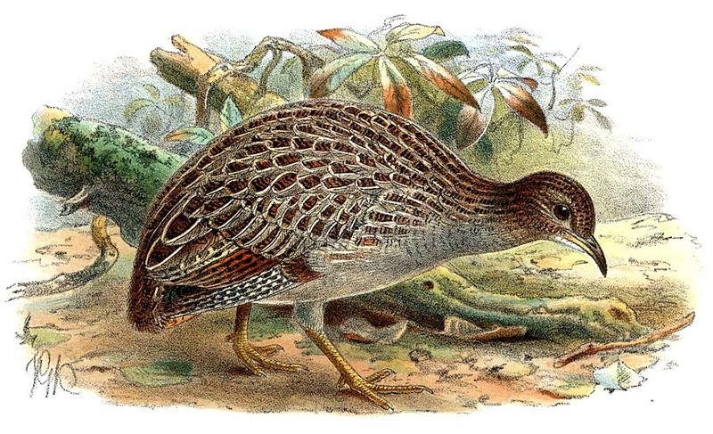 them is Chilean Tinamou