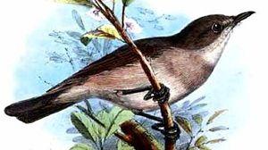 Traquet à queue brune