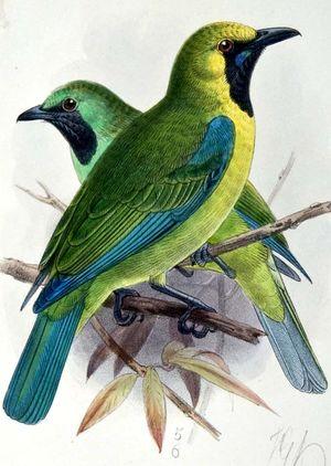 Verdin de Bornéo