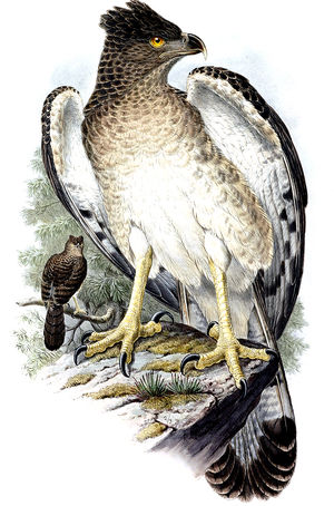 Aigle de Nouvelle-Guinée