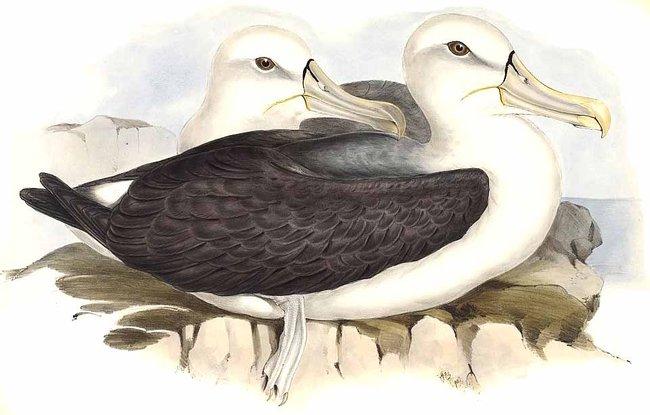 http://www.oiseaux.net/photos/john.gould/images/albatros.timide.jogo.0g.jpg