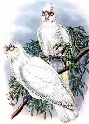 Little Cockatoo or Little Corella - Cacatua sanguinea