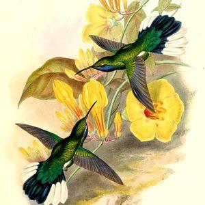 Campyloptère à queue blanche