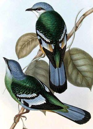 Cochoa vert