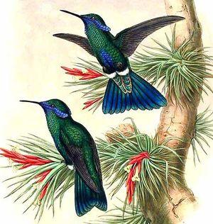 Colibri anaïs