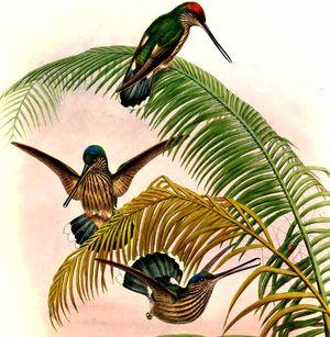 Colibri d'Équateur