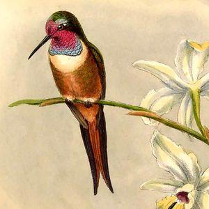 Colibri des Bahamas
