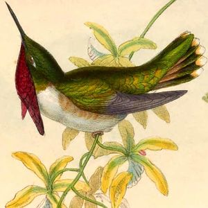 Colibri héloïse