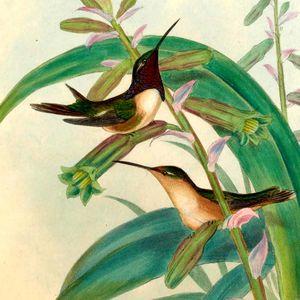 Colibri lucifer