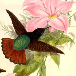 Colibri paméla
