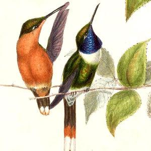 Colibri zémès