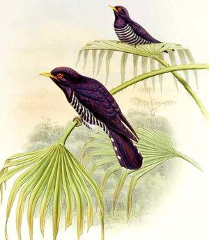 Coucou violet