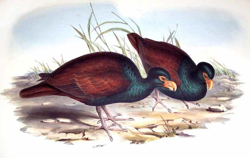 Tooth-billed Pigeon - Didunculus strigirostris - ref:jogo35410