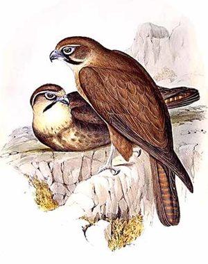 Faucon bérigora