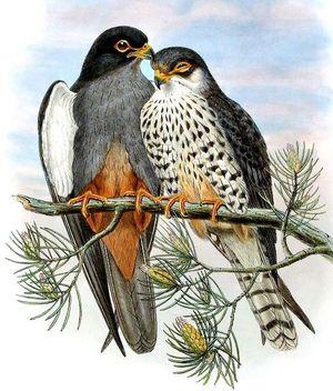Faucon de l'Amour