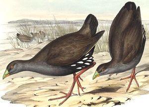 Gallinule aborigène