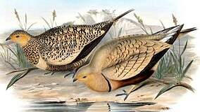Pterocliformes