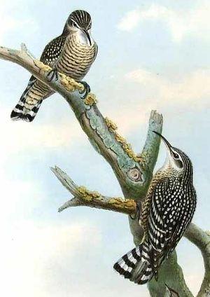 Grimpereau tacheté