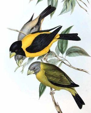 Gros bec noir et jaune mycerobas icterioides for Oiseau noir bec jaune