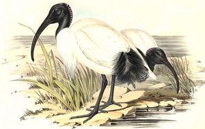 Ibis à cou noir