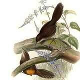 Atrichornithidés