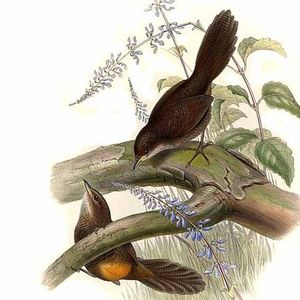 Atrichorne roux