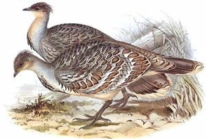 Léipoa ocellé