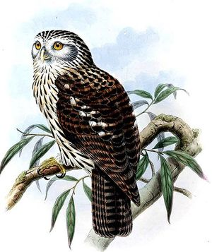 Ninoxe papoue