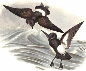Océanite à ventre noir